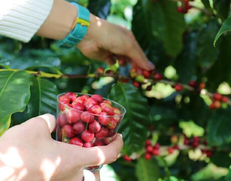 コーヒー豆収穫体験